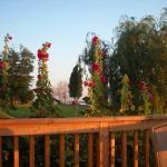 Hollyhocks in the garden