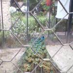 Un pavo