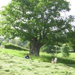 East Raddon own magic pollarded oak tree circa 1740 !