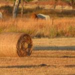 Early morning light on hay bales behind motel with wallabies and kookaburra