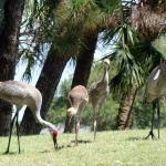Sand Hill Cranes are all over our property.