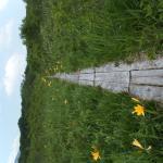 木道の両側に咲くニッコウキスゲ