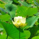 A lillie from the pond