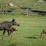 Moose with her two calves