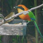 Rufous Motmot at the Yellow House Banana feeders