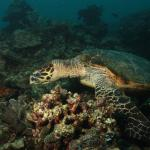 Rambo, the turtle at Portulano Housereef