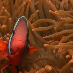 Tomato Clownfish at Portulano Housereef
