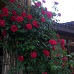 (not so) creepy red roses