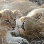 lion cub with mama