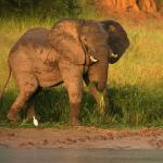 Elephant in the sunset on the banks of the river