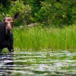 Moose on Cross Bay Lake