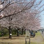 隣の野球場周辺の桜