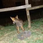 la simpatica volpe vicina di casa