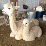 Painted Spring Farm Alpacas