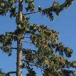 Bald eagle in a tree by our cabin.