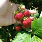 Fresh Strawberries in June/July!