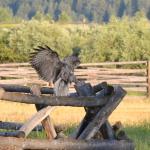 The friendly ranch Great Grey Owl