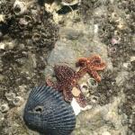 Starfish on the rocks....