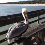 Charlie the resident pelican