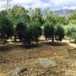 Olive tree grove and green & black olives. Green, pink, blue, purple, black olives.
