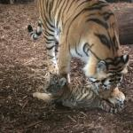 Tigermor og tigerbarn