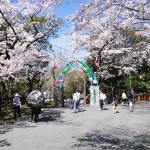 桜が満開の五月山動物園