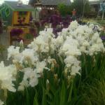 Iris in Children's Garden