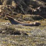 Eine Robbe mit ihrem Baby, sie ist dabei es zu füttern