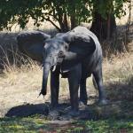 Elephant taking a drink