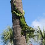 Iguana at the Poolside Palm Tree