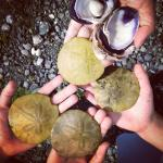 sand dollars and shell collecting