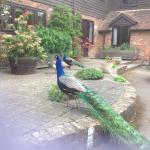 Peacocks outside belong to next farm