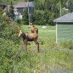 Young moose in the garden.