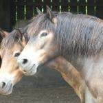 Exmoor ponies- too cute!