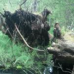Uprooted trunks