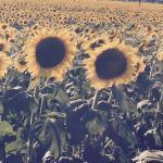 Sunflowers near Casa Mazzoni