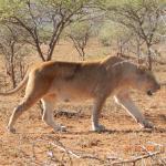 trächtige Löwin