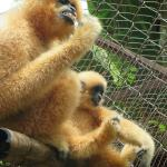 Wild Gibbons visiting rescue centre