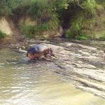 Hippo in river by camp