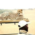 Cheetah lookout in the bush