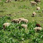 Nog meer schapen...