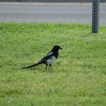 Magpie on the front lawn