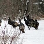 Turkeys visiting our yard