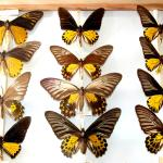 Drawers of butterflies from South America