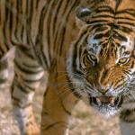 Beautiful tigers.
