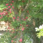 Beautiful roses all around the garden. This one is climbing up and acacia tree