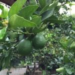 Limes on grounds
