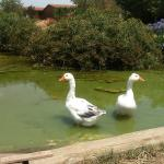 Ocas en el estanque