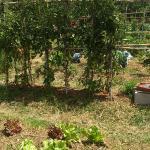 Tomateras del huerto