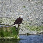 One of the many Eagles at the river mouth